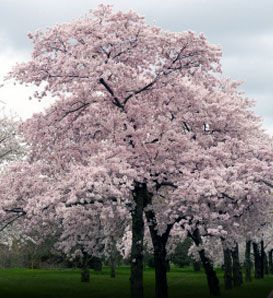 Zone 5:    Japanese Flowering Cherry  Prunus x yedoensis    Also known as Yoshino Cherry  Fragrant, white-pink flowers  Oriental branching pattern  Famous for Macon Cherry Blossom Festival and National Cherry Tree Festival in D.C.  Deer Resistant: Seldom Severely Damaged  Grows 40' to 50' high  Zones 5 to 8