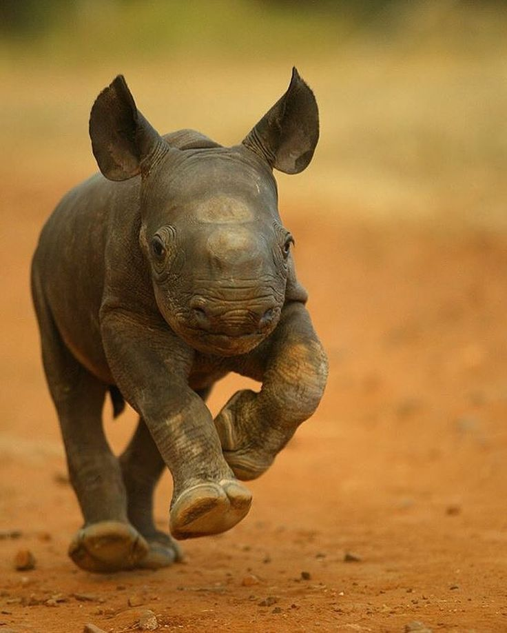 """5,495 Likes, 64 Comments - #exclusive_wildlife (@exclusive_wildlife) on Instagram: """"Photography by: ©️️Jon Hrusa...... """"BABY RHINO ON THE RUN! With the Rhinoceros now facing extinction…"""""""