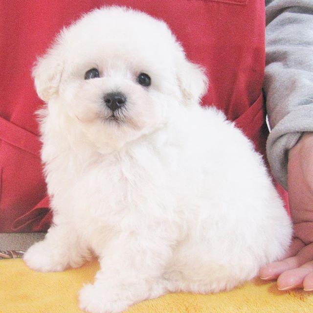 #犬 #dog #犬バカ部 #愛犬 #富山#doglover #ふわもこ部 #多頭飼い #ブリーダー #pet #ペット #baby #子犬 #トリミング #trimming #トリマー #trimmer #groomer #grooming #dogsalon #cut #チッチ #トリミングサロン #cute #可愛い #poodle #toypoodle #トイプードル #プードル #ティーカッププードル  アンリたんっ子 女の子の方は、  前からホワイトお待ちの、  チッチ犬リピーターのお客様に、 早々と決まったので、  男の子ボサっとしてたら、  生後1ヶ月半になってました💦  可愛い可愛い、小ぶりな白くま君💕  すっごい毛量で、モコモコ。  今日は、4匹、チッチHPに、  子犬ちゃんアップ完了しました!  ごゆっくり、手塩に掛けて大事に育てた、チッチっ子ちゃん達を、HPで、ご拝見頂ければ、 嬉しいです😊🙏
