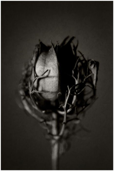 The vines wrapped around the rose gives the impression of life being trapped by evil/darkness. The fact that this photo is black indicates losing life and perhaps to an extent, the dark side of human nature.