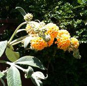 Honeycomb Buddleia Plant