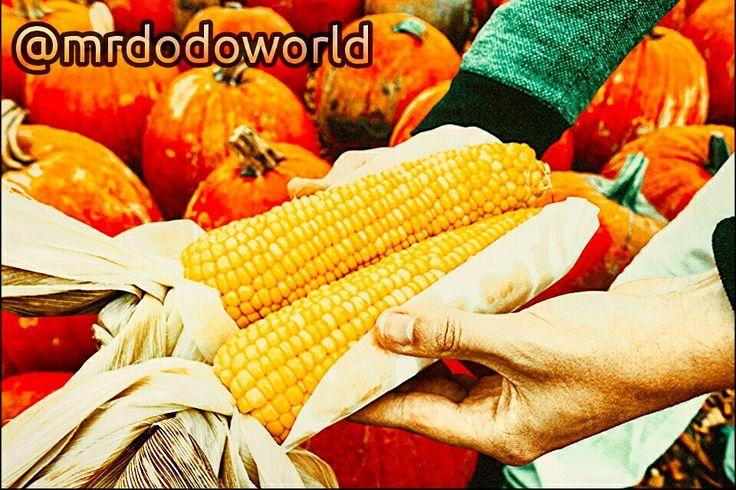 #corn #harvest #farm #cropfield #farming #food #october #fall #autumn #vegetable #healthy #natural #farm #field #organic #farming #pumpkin #pumpkins #halloween #cornlovers #yummy #photography #nature #art