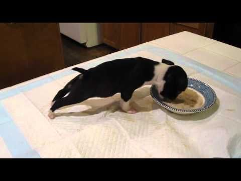 Boston Terrier Puppy Can't Keep His Feet Down |Too cute!