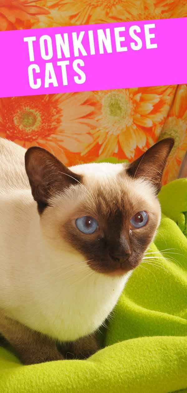 Tonkinese Cat A Complete Guide To This Unusual Breed In 2020 Tonkinese Cat Tonkinese Fun Facts About Cats