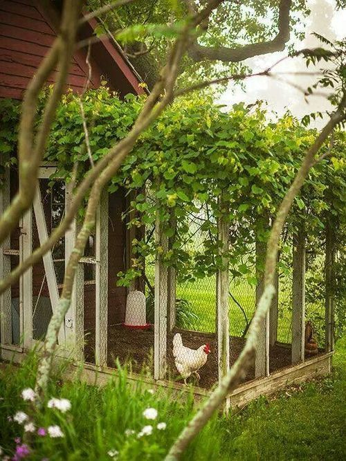 LOVE this coop - the vine on top would help keep them cool in the summer, as well as attract bugs for them to eat.: