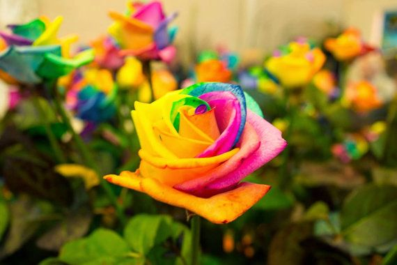 1000 images about hydrochem on pinterest hydroponic for How to plant rainbow rose seeds
