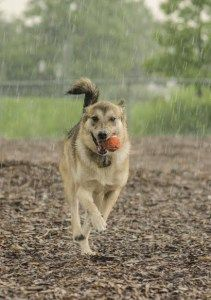 Puppy in the rain..run! Zeea at the dog park. Check out toytails.wordpress.com