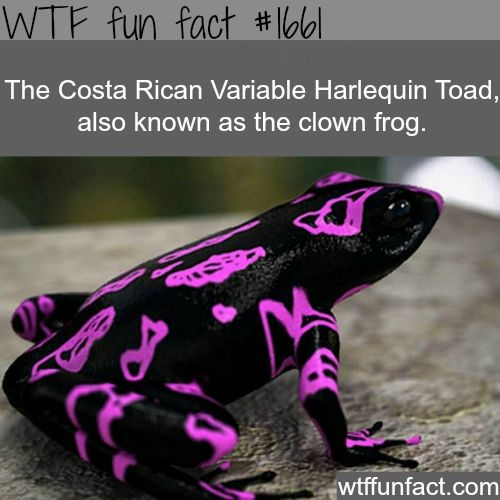 Clown frog, Costa rican varbable harlequin toad - WTF fun facts