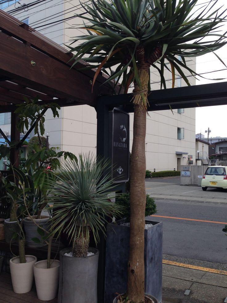 ドラセナ・ドラコ ¥300,000(運搬費込)