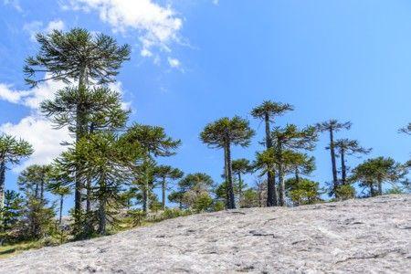 Il parco nazionale Nahuelbuta in Cile e la foresta di Araucaria