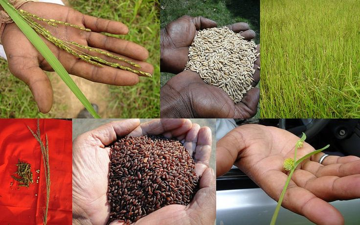 Medicinal Rice based Tribal Medicines for Diabetes Complications and Metabolic Disorders (TH Group-749) from Pankaj Oudhia's Medicinal Plant Database. Encyclopedia of Tribal Medicines by Pankaj Oudhia. #TribalMedicines