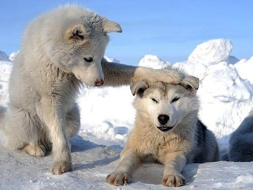 <3: Funny Dogs, Siberian Husky, So Cute, Pet, Puppys, Funny Stuff, Wolves, Funny Animal, Moon Moon