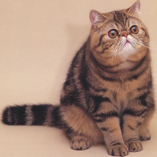 exotic shorthair cat | Exotic Shorthair Cat - Cat Questions and Answers