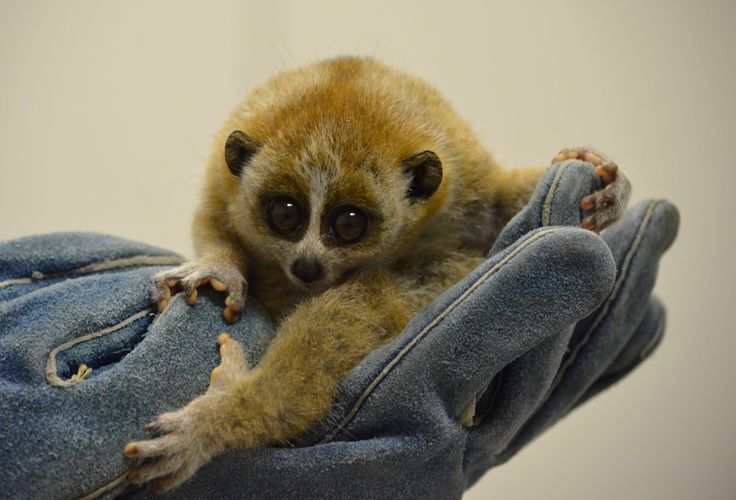 Akron Zoo in Ohio announced the birth of a rare Pygmy Slow Loris! The baby, a male, was born August 21 and weighed less than an ounce (21 g). The baby has been thriving, and first-time mom Casey is doing an excellent job raising her baby behind-the-scenes. This birth, part of the Pygmy Slow Loris Species Survival Plan, is great news for the conservation of this Vulnerable primate.  See more: http://www.zooborns.com/zooborns/2013/11/pygmy-slow-loris-akron-zoo.html