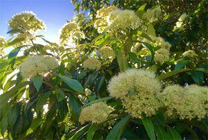 Mackay Regional Botanic Gardens - What's flowering now