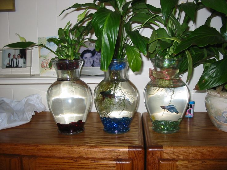 Betta fish and plant vase someday pinterest for Plants for betta fish vase