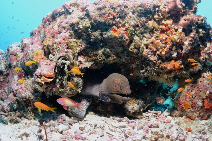 Moray eels sharing a rock in the Maldives