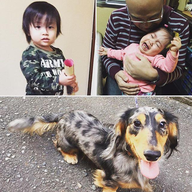 夕方からトリミングを予約してたので、ギンちゃんも一緒に祖母宅に行ってました。 子供達が遊んでいる間、お外で番犬してました。  #ペット #犬 #愛犬 #ミニチュアダックス #ロングヘア #ロングコート #シルバーダップル #トリミング #ペットのコジマ #jkc