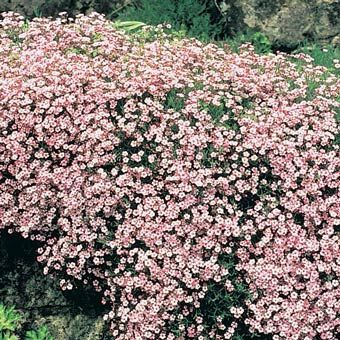pink babys breath gypsophila paniculata pink fairy babys breath that is actually pink plant