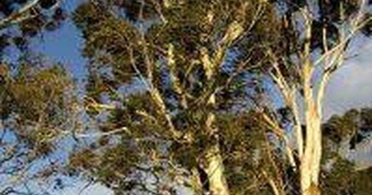 Cómo plantar árboles de eucalipto. Los árboles de eucalipto te van a entretener con su inusual muestra floral al plantarlos. No son árboles difíciles de cultivar, pero la selección debe hacerse con cuidado. A estos árboles no les hace bien que sus raíces estén apretadas, por lo que los árboles pequeños pueden asegurarse una mejor raigambre. Puedes empezar el árbol con semillas o ...