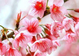 Siam's amazing thailand tourism.: Experience the romance of Sakura ...