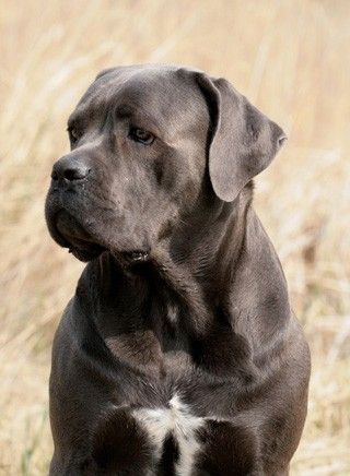 one of the colours and varieties (natural ears) of the Cane corso italiano