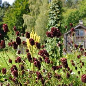 BLODTOPP i gruppen Krydd- och Medicinalväxter / Medicinalväxt hos Impecta Fröhandel (3356)