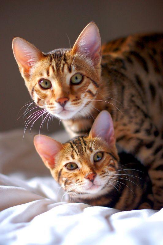 Тойгер кошки (фото): добродушный нрав в диком окрасе