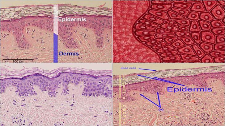 Epidermis, tıpkı bir pasta tabakası gibi katmanlı yapılardan oluşan derinin üzerindeki ilk katlardan biridir. Bu katmanın ardından subkutis ve dermiş tabakaları gelir. Daha çok hücre içeren Epidermis, 3 ile 5 arasında hücre tabakasından oluşur.
