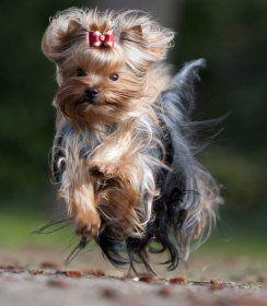 Yorkshire Terrier...such a pretty picture