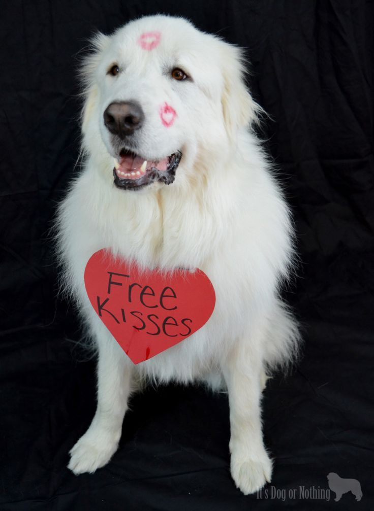Great Pyrenees Free Kisses Great Pyrenees Dog Great Pyrenees