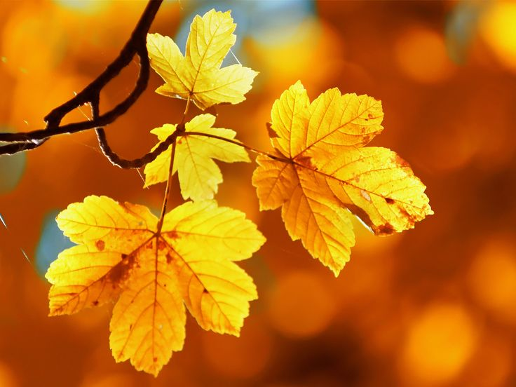 Best 25 fall leaves wallpaper ideas on pinterest iphone fall sycamore leaves wallpaper voltagebd Image collections