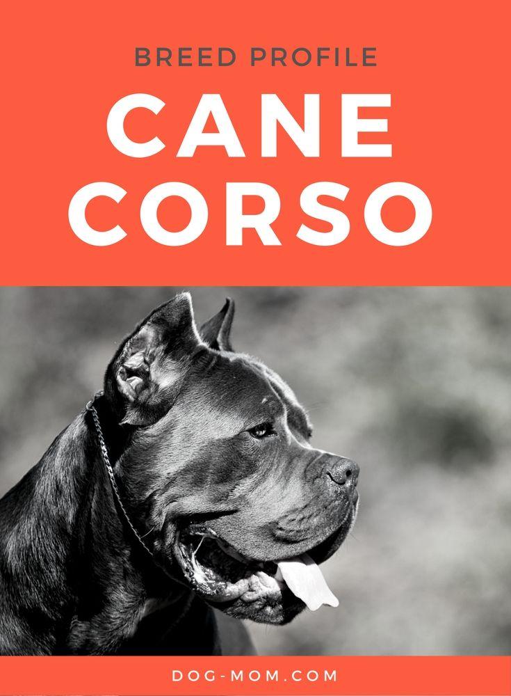 Cane Corso (Italian Mastiff) Breed Profile | cane corso, cane corso facts, cane…