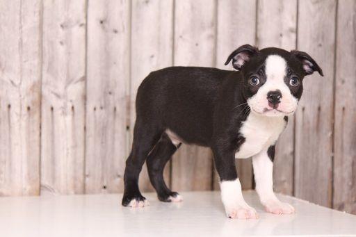 Boston Terrier puppy for sale in MOUNT VERNON, OH. ADN-36768 on PuppyFinder.com Gender: Male. Age: 9 Weeks Old