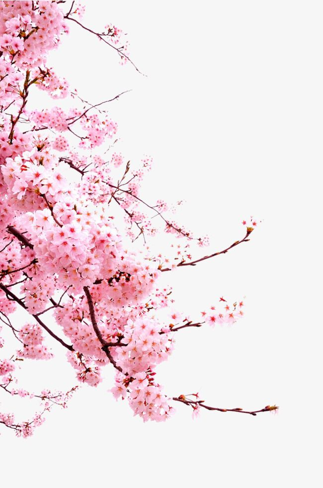 Japanese Cherry Blossoms, Gorgeous, Free Png, Vibrant PNG Transparent Image and Clipart for Free Download