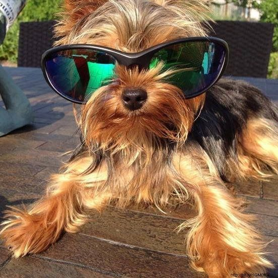 Yorkie cool! - Tap the pin for the most adorable pawtastic fur baby apparel! You'll love the dog clothes and cat clothes! <3