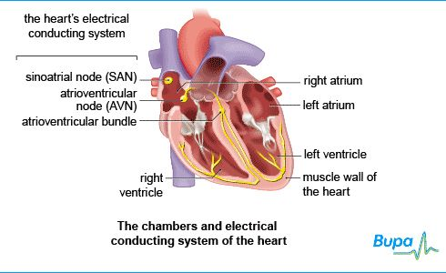 16 best Heart and circulation images on Pinterest   Atrial ...