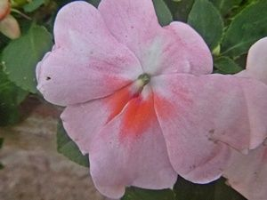 Bunga Petunia Soft Pink