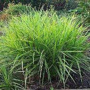 Carex Muskingumensis (9cm Pot)