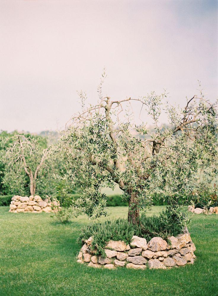46 best Olive Trees images on Pinterest | Olive tree, Olives and ...