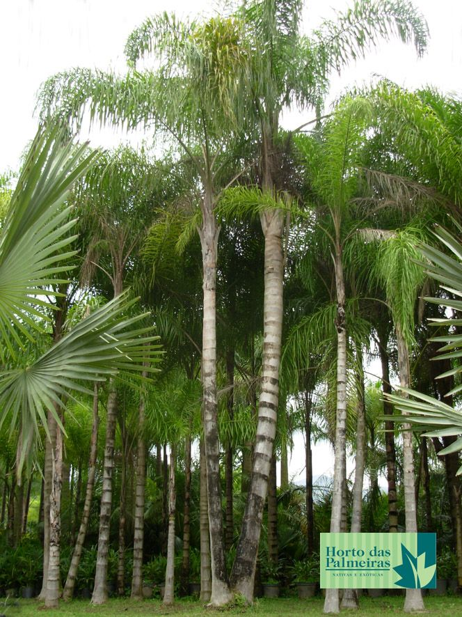 Palmeira Jerivá dupla