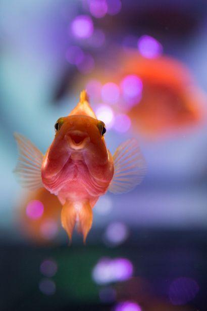 Japanese goldfish. #happy #fish