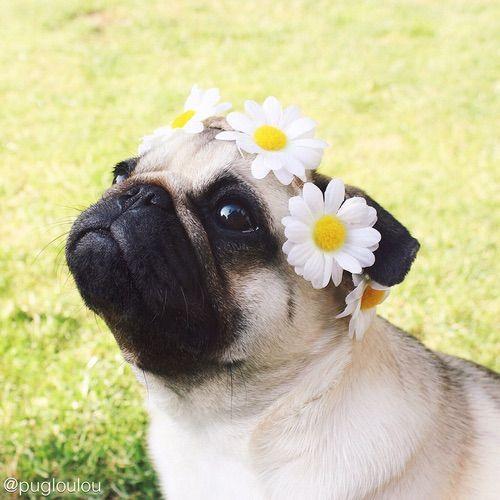 Flower child pug