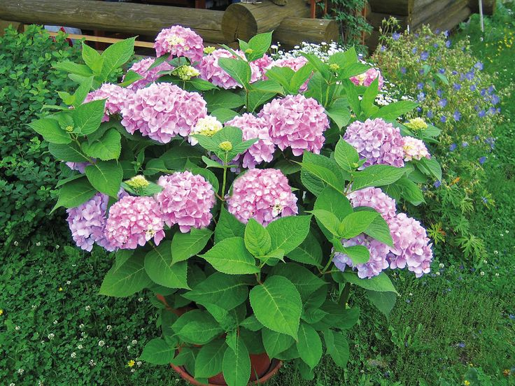Jalohortensia Endless Summer | Koristepensaat | Agrimarket