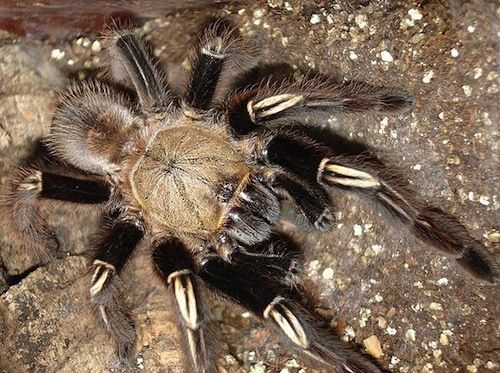 Skeleton Leg Tarantula Ephebopus murinus These South American terrestrial arachnids dig burrows and have huge appetites. They can be aggressive.