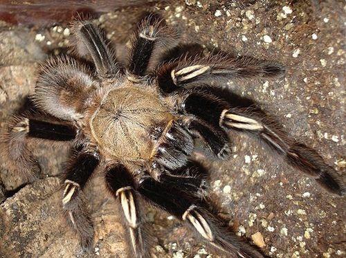 Skeleton Leg Tarantula Ephebopus murinus These South ...