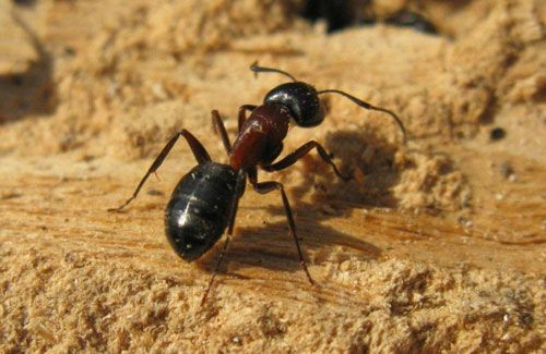 Carpenter ants are very common so it's not unlikely for your home to suffer from an infestation. The main concern of homeowners who are bugged by these crawling insects is structural damage. While they're not like termites that actually feed on wood, carpenter ants simply dig tunnels to create nests. If left unchecked, an infestation …