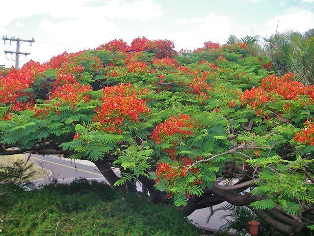 flowering Poinciana tree from Pukalani Maui HI