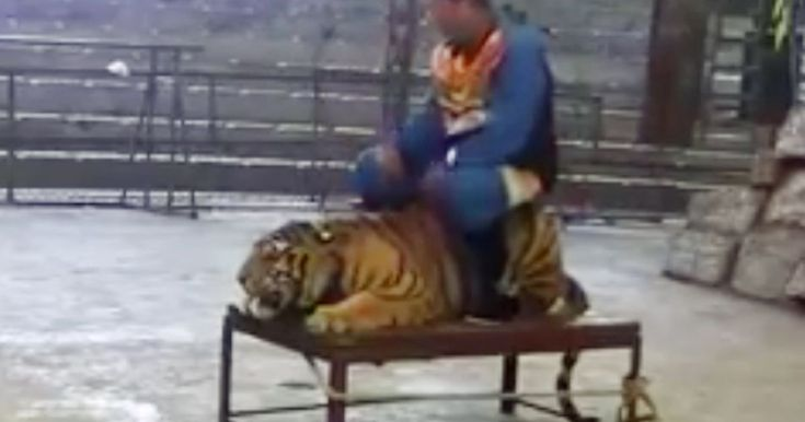 Performers 'slap' endangered tiger in sickening show at zoo