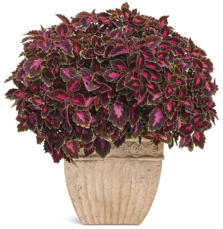 47 mejores imágenes de coleos en pinterest | jardinería, plantas y